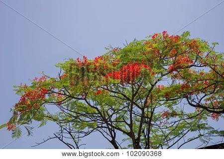 Flamboyant Flower Against Blue Sky