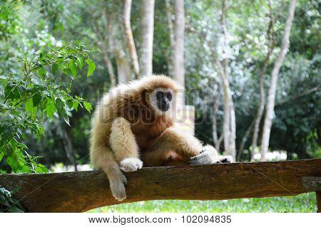 gibbon on the wooden log