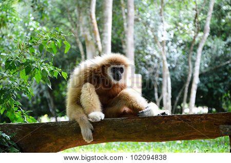 gibbon sitting on the wooden log