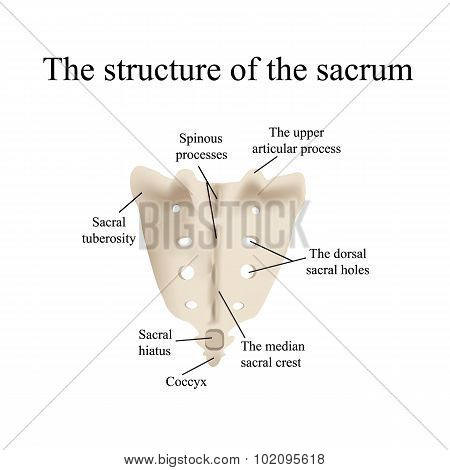 The structure of the aitch bone. Vector illustration on isolated background