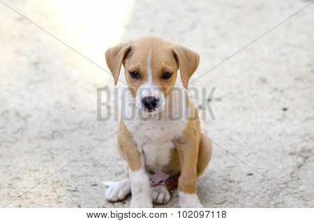 Cute Puppies Of Amstaff Dog, Animal Theme