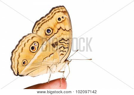 Isolated Peacock Pansy Butterfly On Human Finger