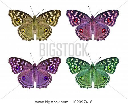 Isolated Lemon Pansy Butterfly