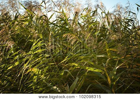 This is a photo of the Green Cane background
