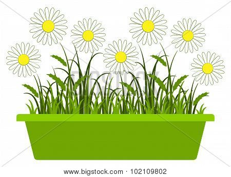 Daisies In Planter