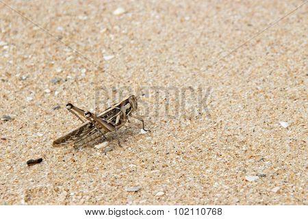 Brown Patanka Grasshopper On Sand Beach