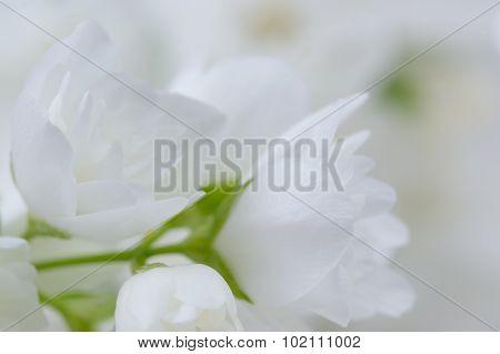 Romantic White Jasmine Flowers