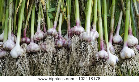 Garlic Stem Root