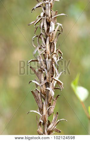 Dry Oenothera Biennis