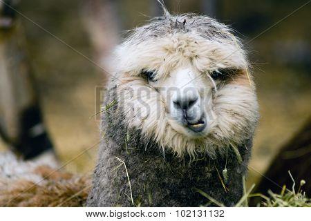 Domestic Llama Eating Hay Farm Livestock Animals
