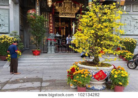 HO CHI MINH VILLE, VIETNAM, FEBRUARY 24, 2015: Hoa Mai tree (Ochna Integerrima) blooming in the courtyard of the Chua Ong pagoda for traditional lunar new year in Ho Chi Minh Ville, (Saigon), Vietnam.