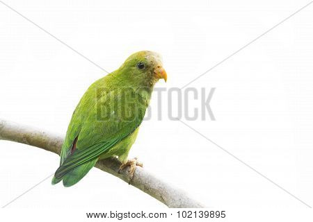Ceylon Hanging-parrot In Ella, Sri Lanka