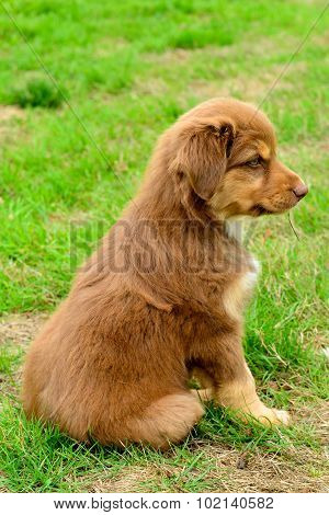 Red Tri Color Australian Shepherd Aussie Puppy Profile