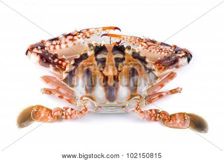 Serra Ted Mud Crab On White Background