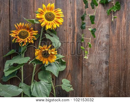 Three sunflowers growing against rustic wooden plank wall