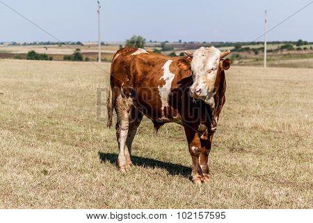 Big Cow Inspiring Respect