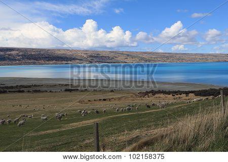 lamb at lake pukaki