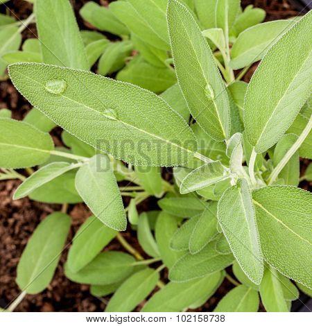 Alternative Mediterranean Medicinal Plants Salvia Officinalis Or Sage For Medicinal And Culinary Use
