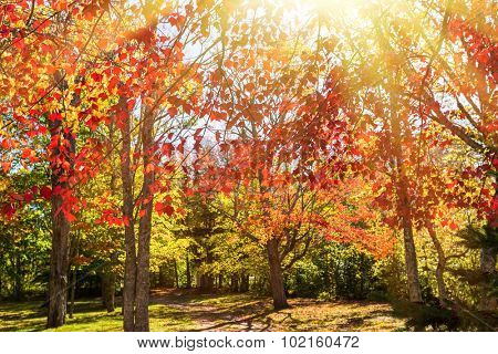 Light streaming through autumn foliage of red maples.