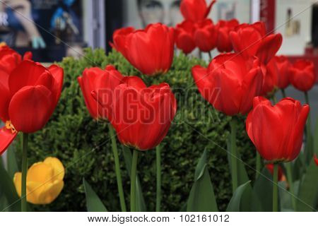 Beautiful Spring Flowerbed With Red Tulips In The Garden.