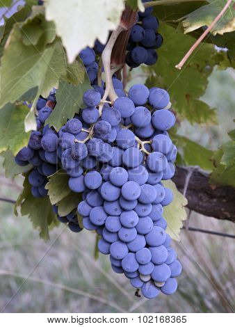 Cluster Of Grapes In France To Produce Wine In France