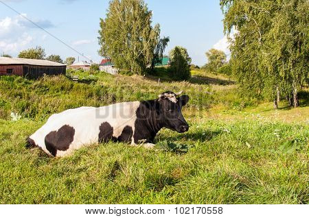 Country cow on grass