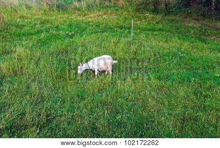 Rustic Goat eating green grass