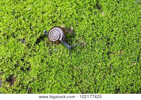Snail Crawling On The Lichen
