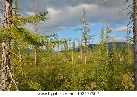 The Forest Tundra In Summer.