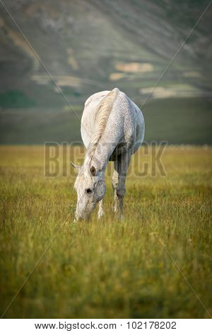 Grazing white horse at Piano Grande, Umbria, Italy