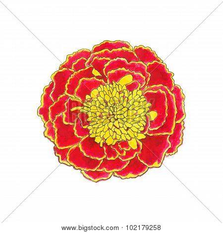 Marigold. Hand-drawn flower. Real watercolor drawing. Vector illustration.