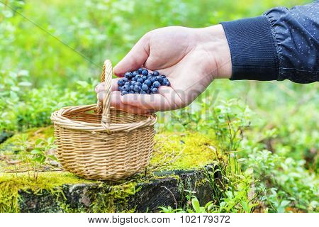 Man's hand with blueberries near basket