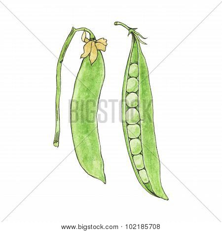 Green peas. Hand-drawn fresh vegetables. Real watercolor drawing. Vector illustration.