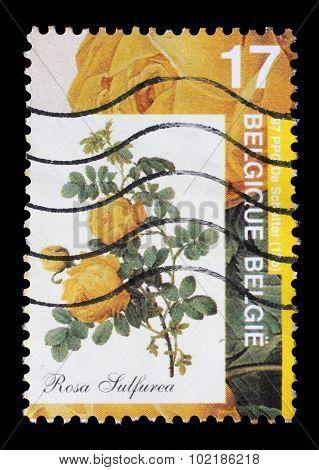 BELGIUM - CIRCA 1997: A stamp printed by Belgium shows Rose, Rosa sulfurea, circa 1997.
