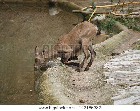 Ibex Mountain Or Alpine (capra Ibex)