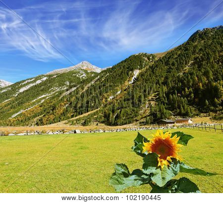 The sunflower grows in a well-groomed field. The Austrian Alps