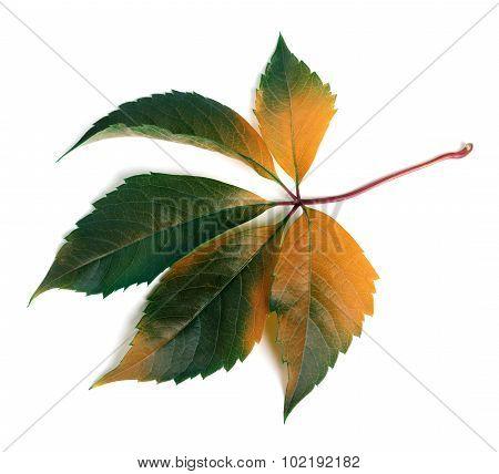 Autumnal Multicolor Grapes Leaf (parthenocissus Quinquefolia Foliage)