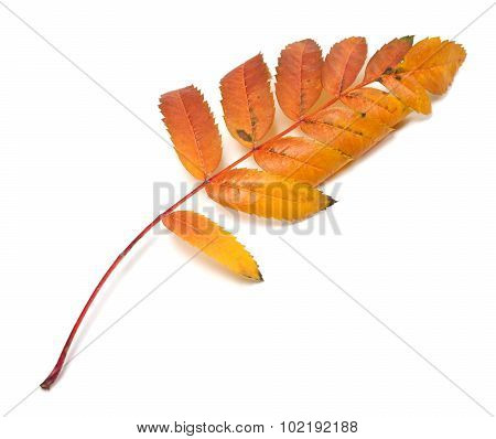Autumn Leaf Of Rowan On White Background
