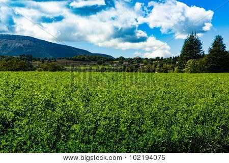 Lucerna fields in the mountains in the alps