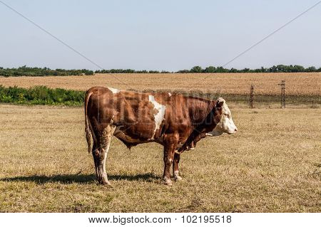 Lonely Cow Outside The Fields