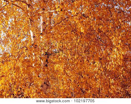 Autumnal tree leafage background.