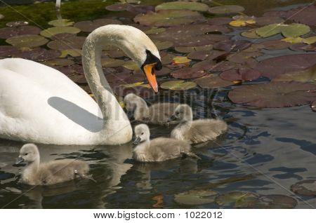Swan Stroll 03