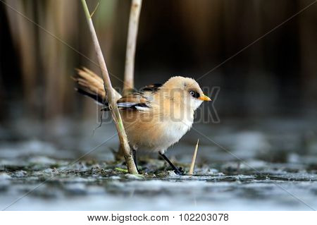 Young Bearded Reedling Under The Reeds