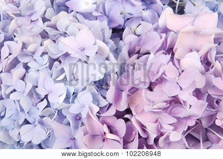 Blue And Pink Hydrangea Macrophylla