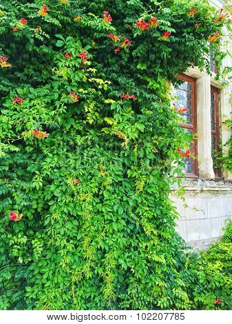 Facade Of An Old Building Covered With Ivy