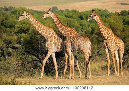 Giraffes (Giraffa camelopardalis) in natural habitat, South Africa