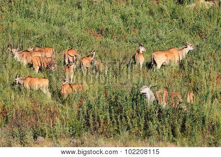 Herd of eland antelopes (Tragelaphus oryx) in natural habitat, South Africa