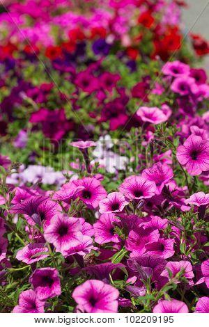 Multicolored Flowers Petunia