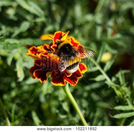 The bumblebee sitting on a flower.