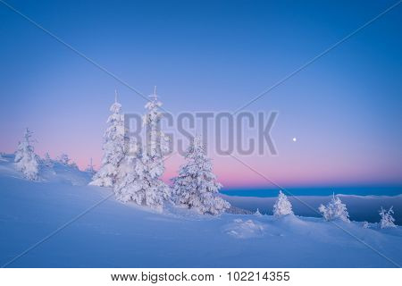 Winter landscape. Morning twilight. Frosty morning. Fir trees under the snow